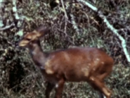 30. Bushbuck