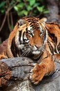 MJT Tiger 01