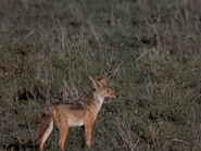 18. Black-Backed Jackal