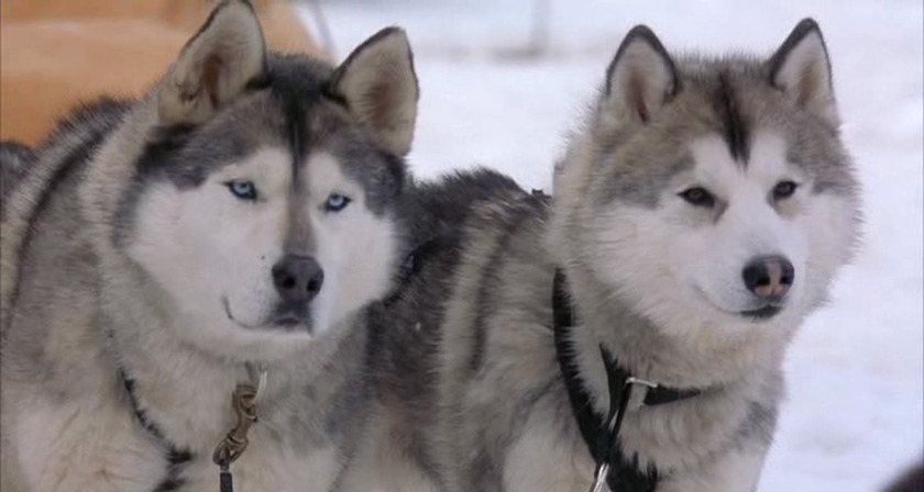 Riding With A Dog Team Of Alaskan Malamute, Snow Dogs, Wintertime ...