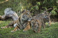 Tiger and Cubs MJT