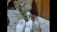 Coyote drinking some milk