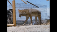 A coyote in a cage