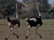 32. Ostrich