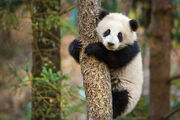 Born in China Panda