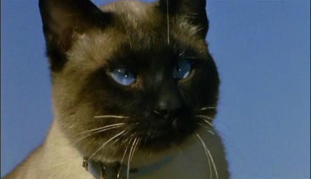 File:Tao the Siamese Cat.jpg