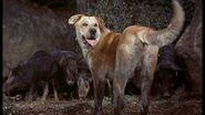 Old Yeller vs Wild Boars