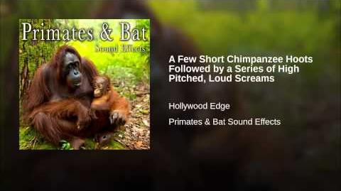 A Few Short Chimpanzee Hoots Followed by a Series of High Pitched, Loud Screams