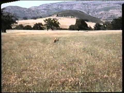 File:Young Yeller Chasing a Jackrabbit.jpg