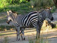 Grant-s-zebras