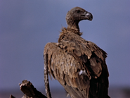 17. Ruppell's Vulture