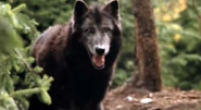 Timber Wolf 19