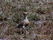 36. Temminck's Courser
