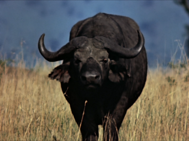 File:15. Cape Buffalo.PNG
