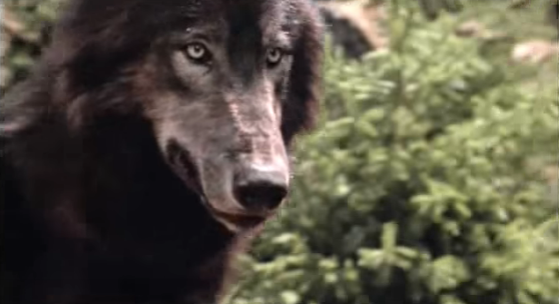 File:Timber Wolf 22.png