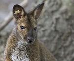 Norfolk Zoo Virginia Outback Australia Walkabout Bennett's Wallabies