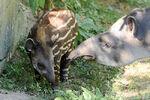 Tapir Calf and Mom