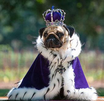 King Pug   Disneyvillainroleplay Wiki   Fandom