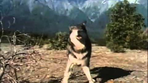 Huge kodiak bear