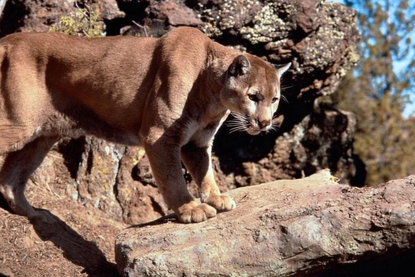 Mountain Lion | Wickedpedia | Fandom