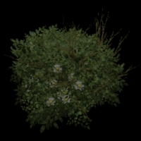 Ob bush01