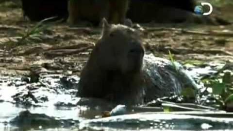 Discovery Channel Latinoamerica Salvaje - Pantanal