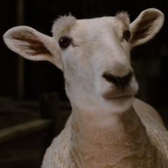 Samuel la oveja en <a href=