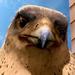 Falcon Stuart Little 2