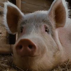 Tío el cerdo en <a href=