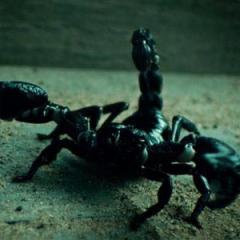 Escorpión (voz), también en <a href=