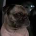 Frank dog MIB2