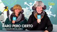 ¡Estos animales viven a temperaturas bajo cero! Raro pero Cierto! Animales de Alaska