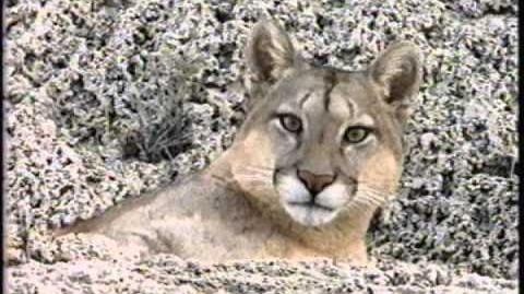 Puma, El león de los andes - National Geographic