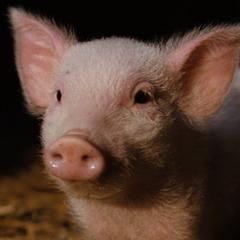 Wilfrido el cerdo en <a href=