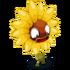 Kleine wilde Sonnenblume