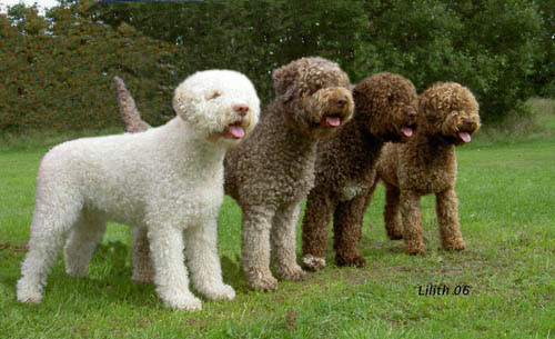 lagotto romagnolo dog breed wiki fandom powered by wikia