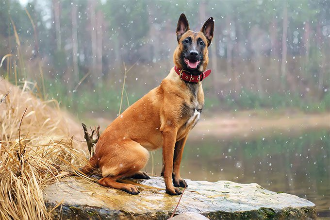 Image result for Belgian Malinois