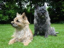 1024px-Cairn-Terrier-Garten1