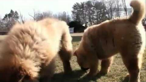 Dogs 101 - Chow Chow