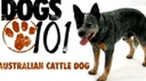 Dogs 101- Australian Cattle Dog