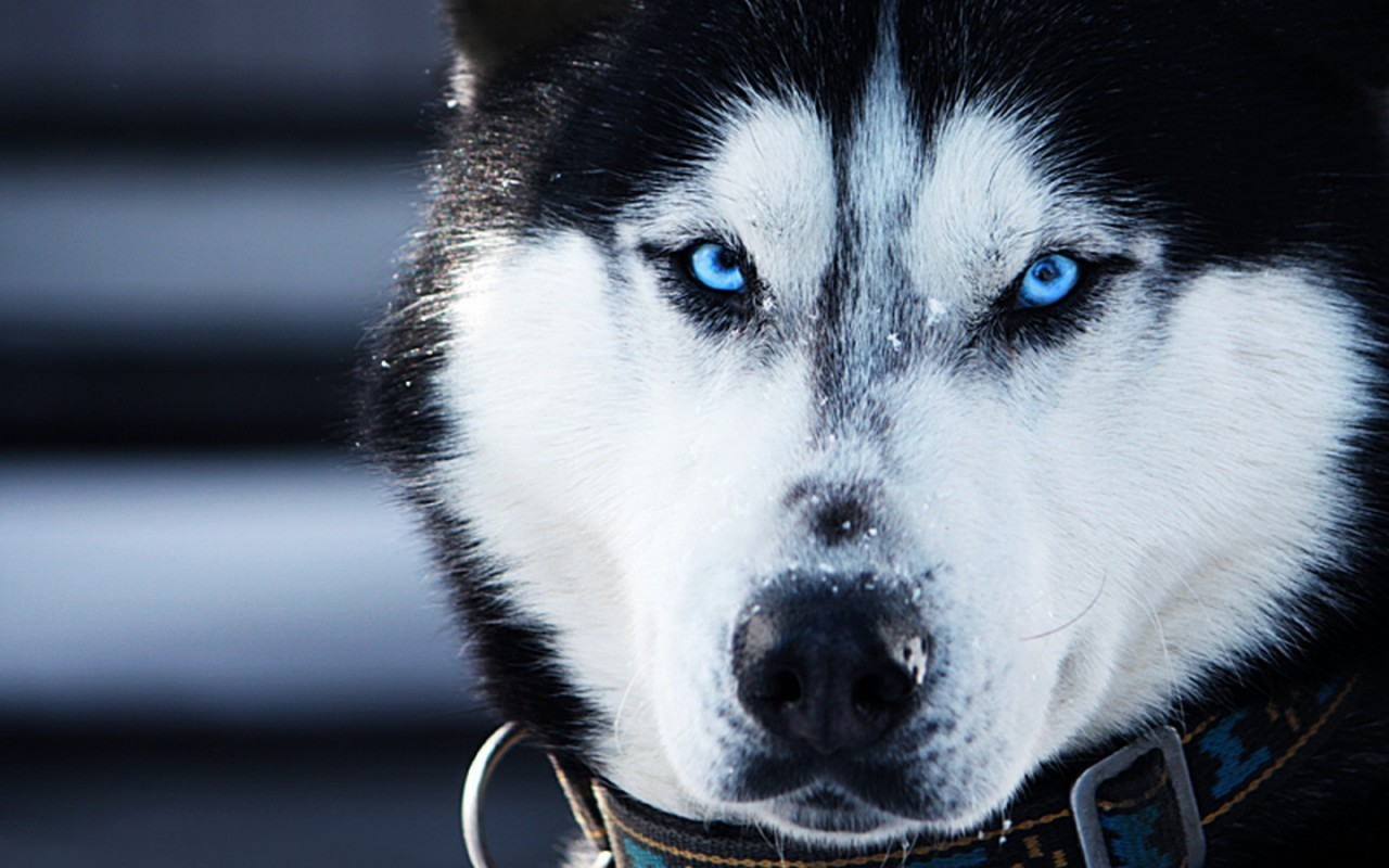 B2ap3 large 6989450-siberian-husky-wallpaper-desktop