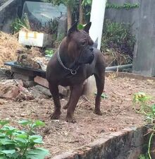 Dragon chongqing dog