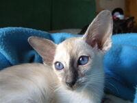 Blue Tortie Siamese