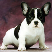 10528579-french-bulldog-puppies