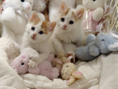 dc546e0c3862d1 Turkish Van is considered to be one of the most important
