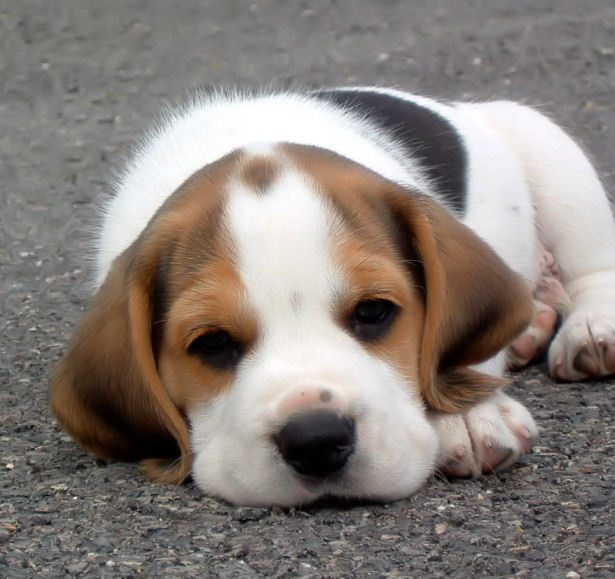 Popular Video Beagle Adorable Dog - latest?cb\u003d20091227085000  Trends_2661  .jpg/revision/latest?cb\u003d20091227085000