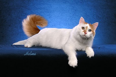 c7c1fa9174 Turkish Van 3. Hearing  Humans and cats have a similar range of hearing on  the low end of the scale