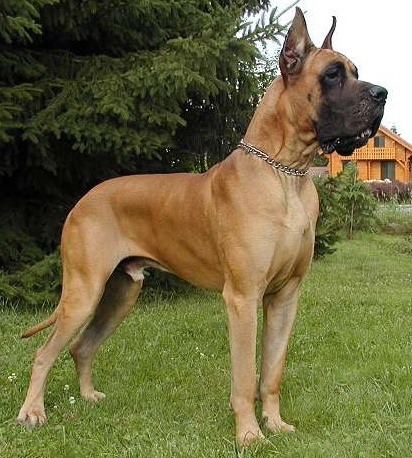 Great dane that looks like scooby doo 10