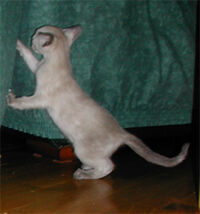 Blue Cream Point Siamese kitten