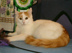 Tabby Turkish Van